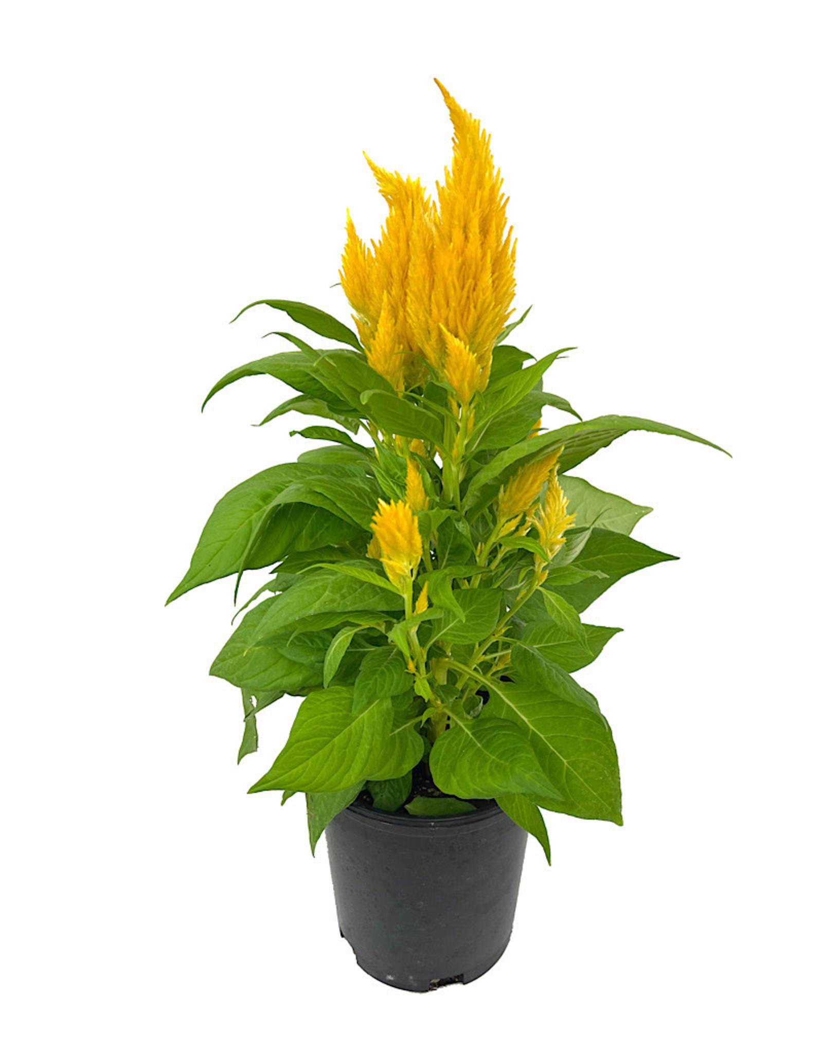 Celosia 'First Flame Yellow' 1 Gallon