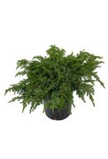 Juniperus c. 'Green Carpet' 1 Gallon