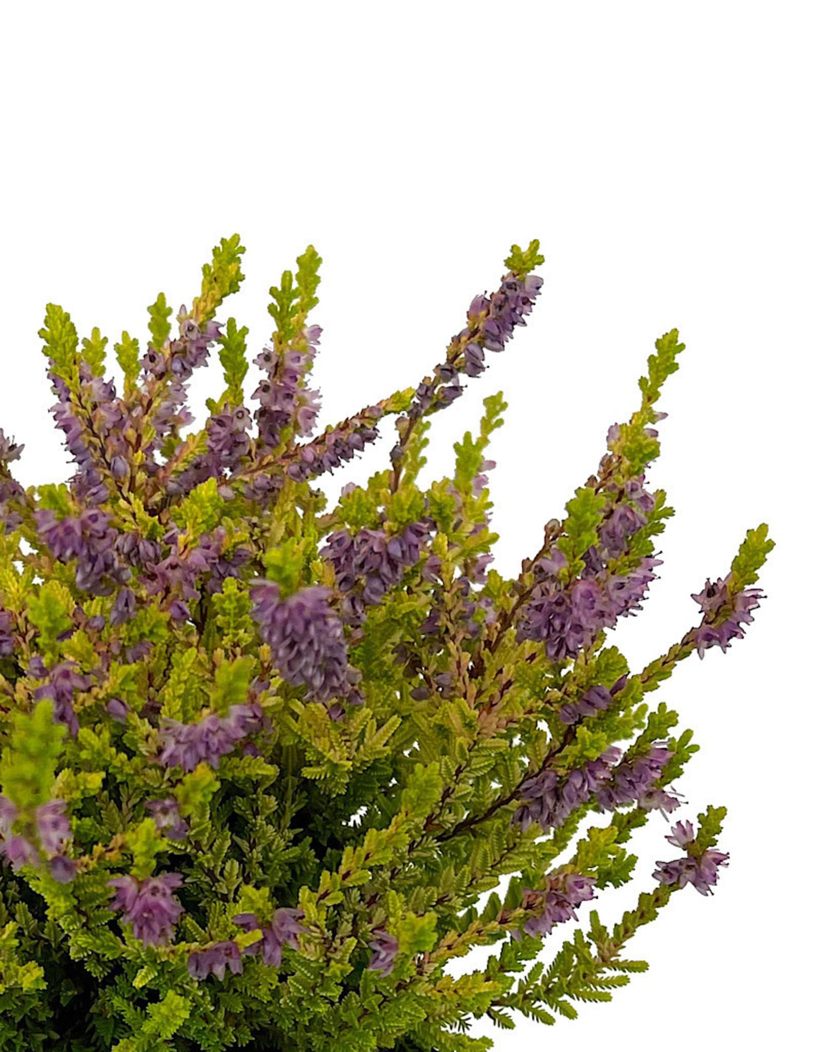 Calluna vulgaris 'Firefly' Quart