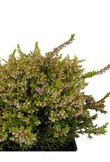 Calluna vulgaris 'Bonita' Quart