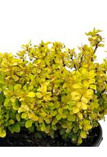 Berberis thunbergii 'Joyce' 1 Gallon