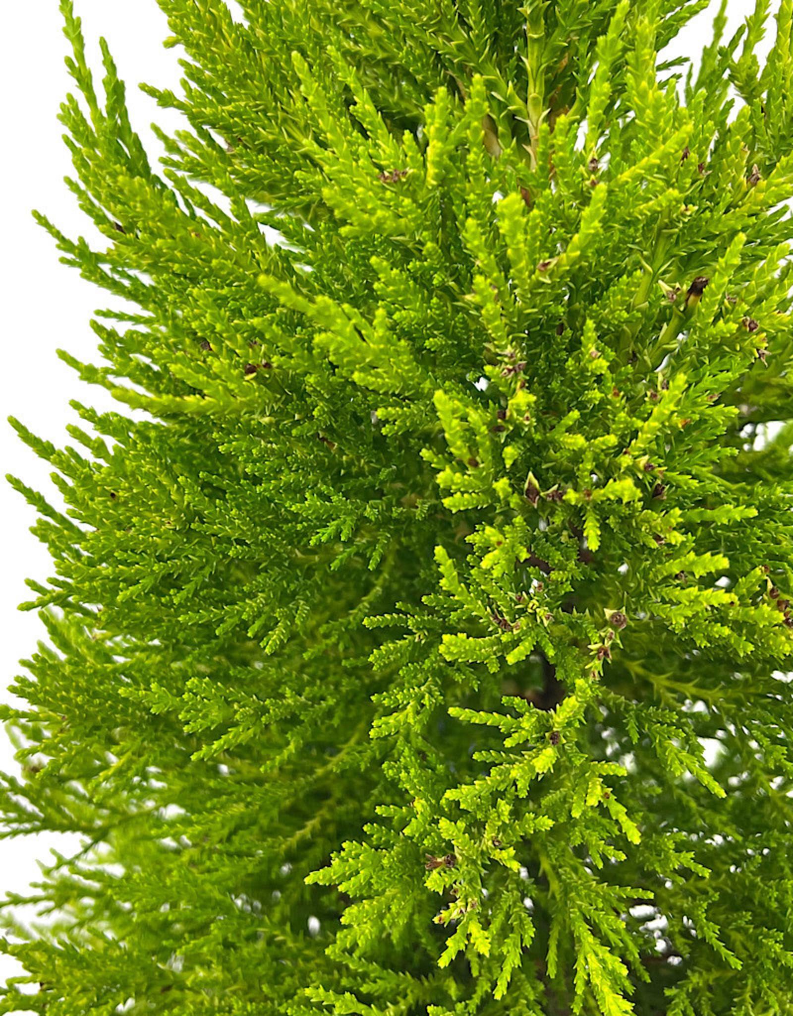 Cupressus macrocarpa 'Donard Gold' 1 Gallon