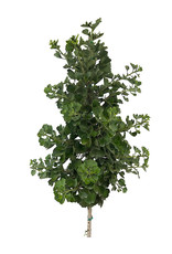 Ginkgo biloba 'Jade Butterfly' 10 Gallon