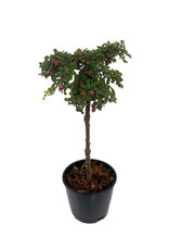 Cotoneaster dammeri 'Strieb's Findling' Topiary Ball 4 Inch
