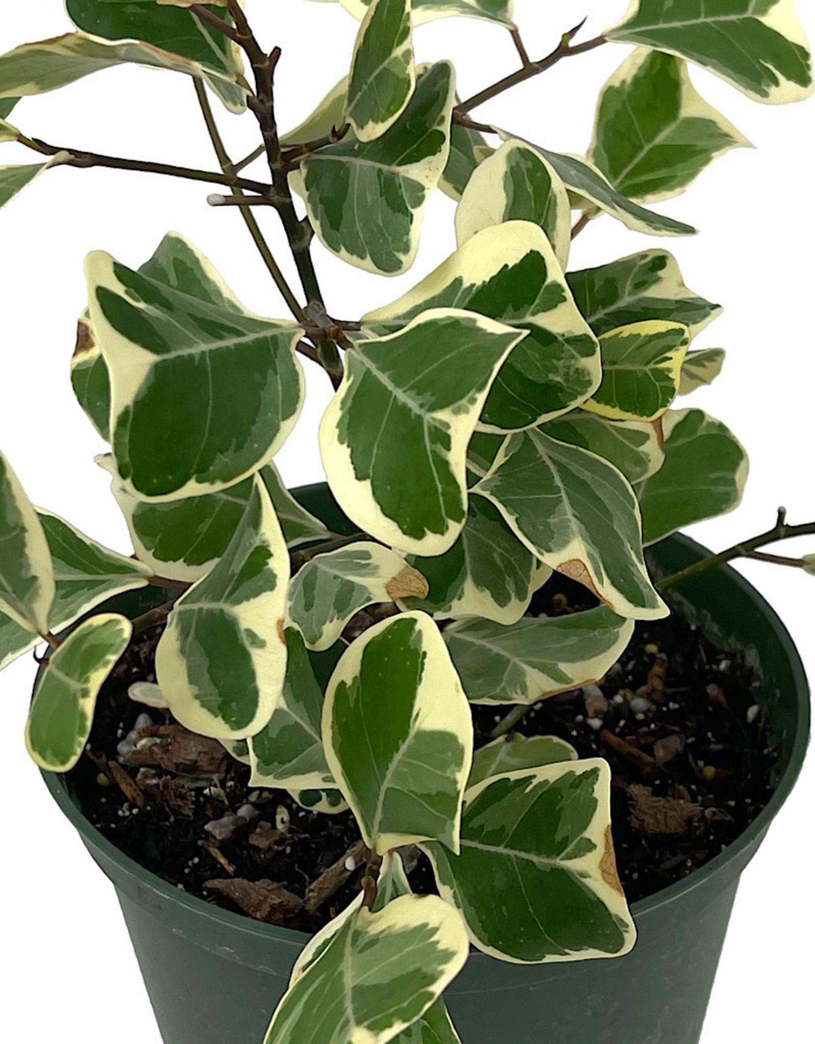 Ficus triangularis 'Variegated' 6 Inch