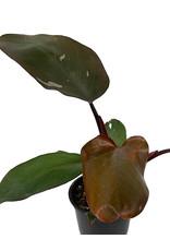 Philodendron erubescens var. 'Pink Princess' 4 Inch