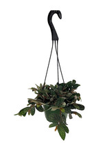Pellionia pulchra 6 Inch Hanging Basket