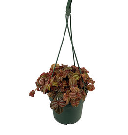 Pilea 'Red Leaf' 6 Inch Hanging Basket