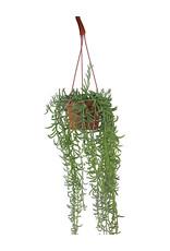 Senecio radicans 6 Inch Hanging Basket