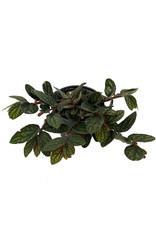 Pellionia pulchra 4 Inch