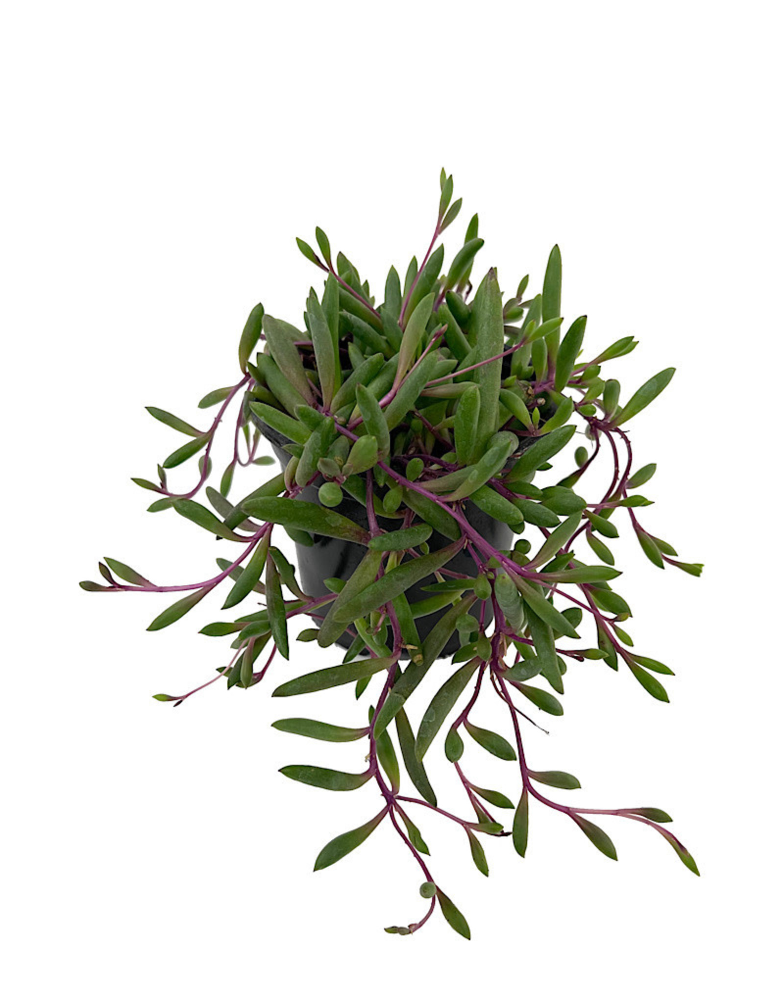 Othonna capensis 'Ruby Necklace' 4 Inch