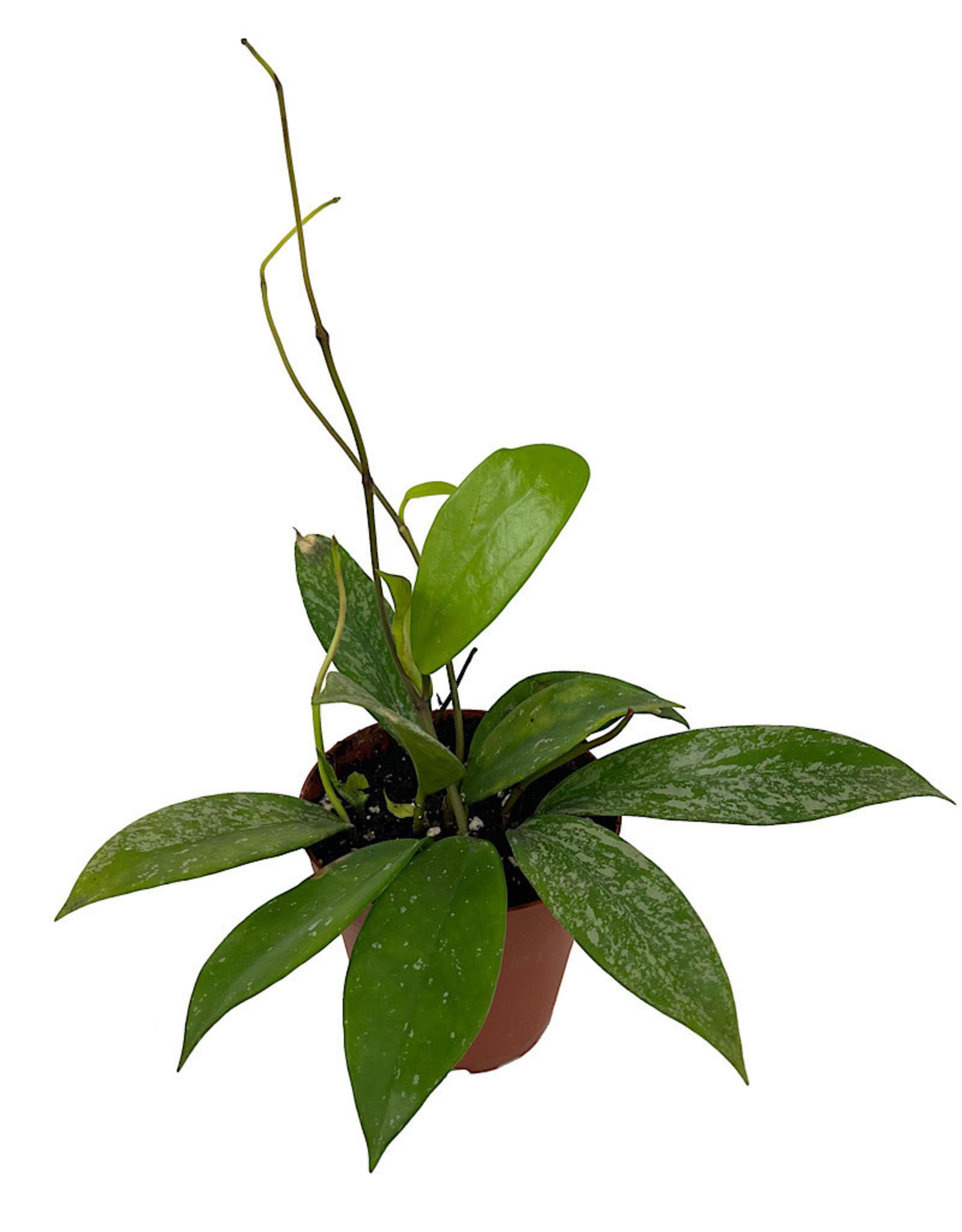 Hoya pubicalyx 4 Inch