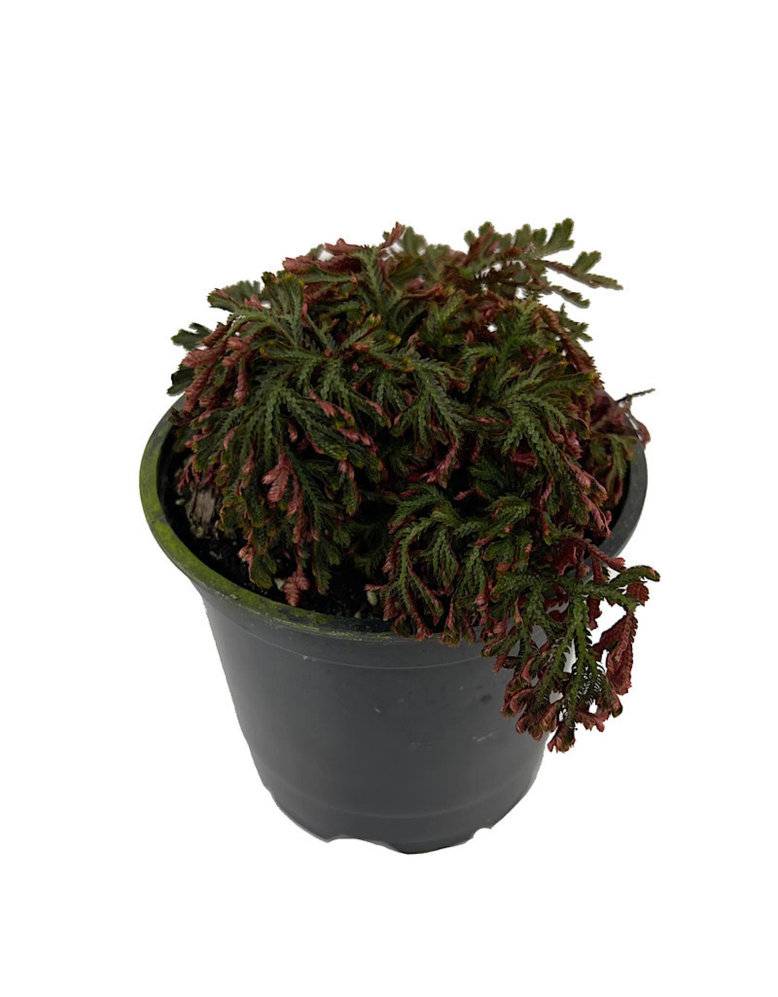 Selaginella erythropus  sanguinea 'Ruby Red' 4 Inch