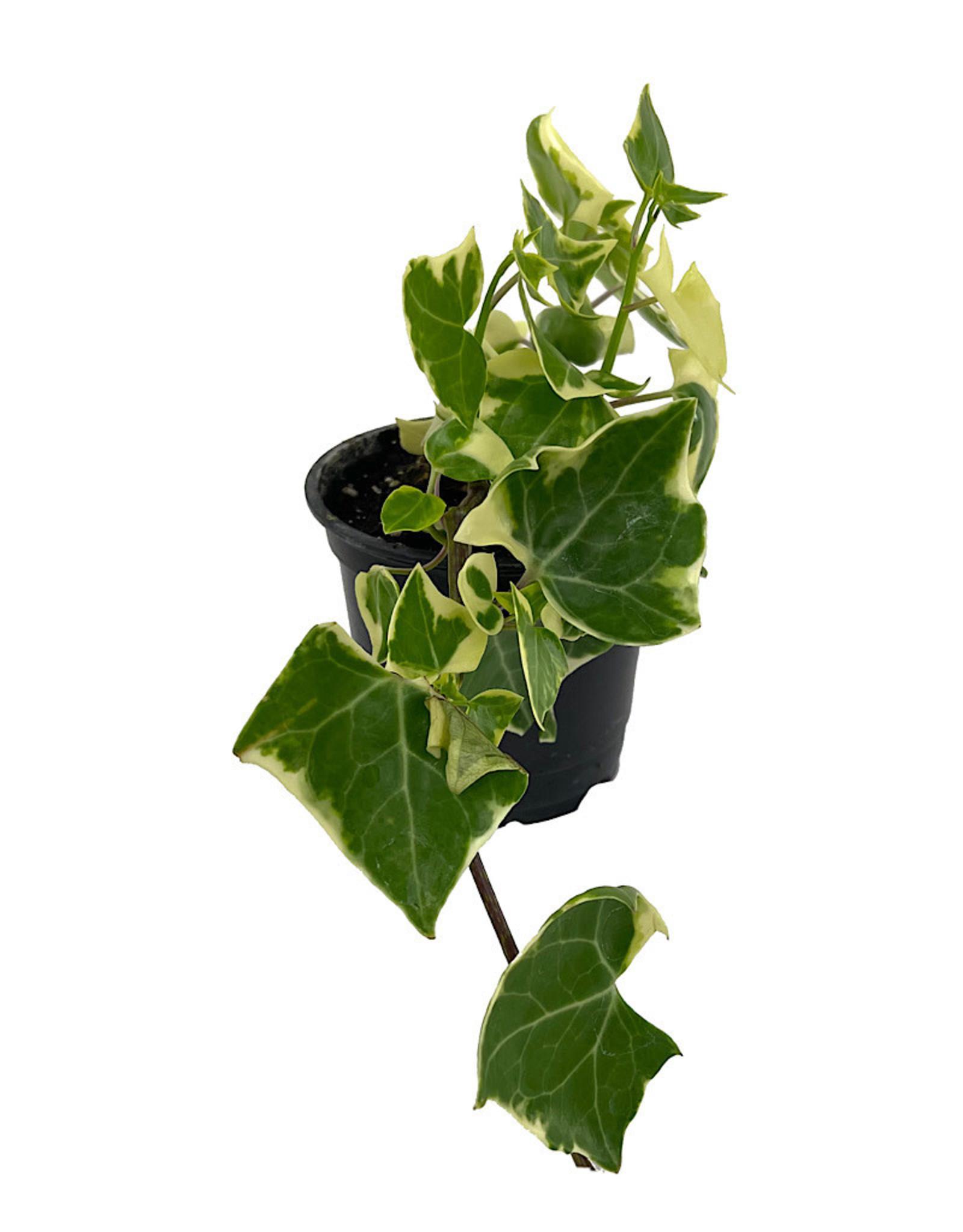 Senecio macroglossus 'Wax Ivy' 4 Inch