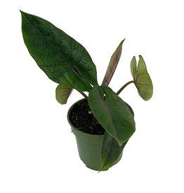 Alocasia scalprum 4 Inch