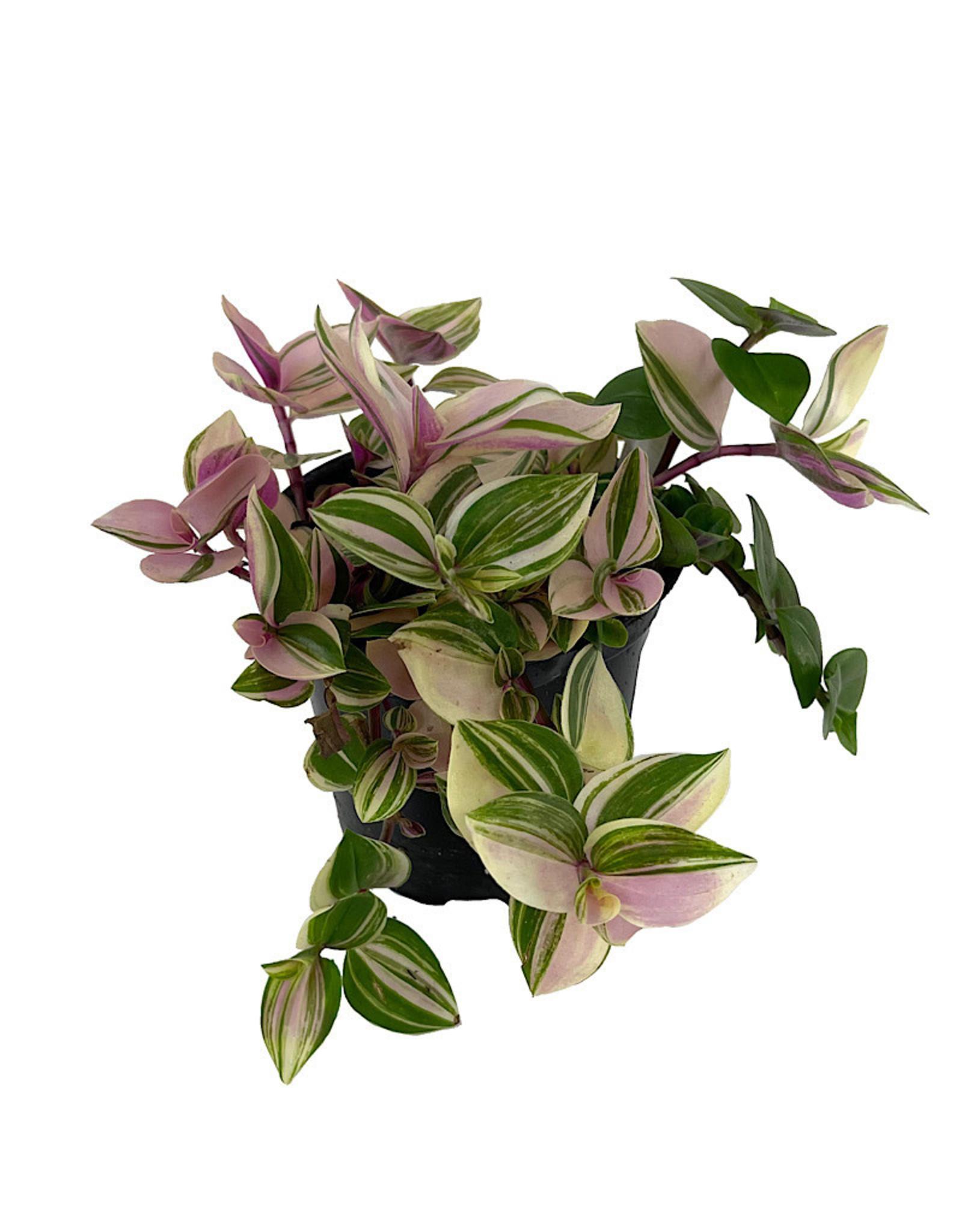 Tradescantia tricolor 'Pink Princess' 4 Inch
