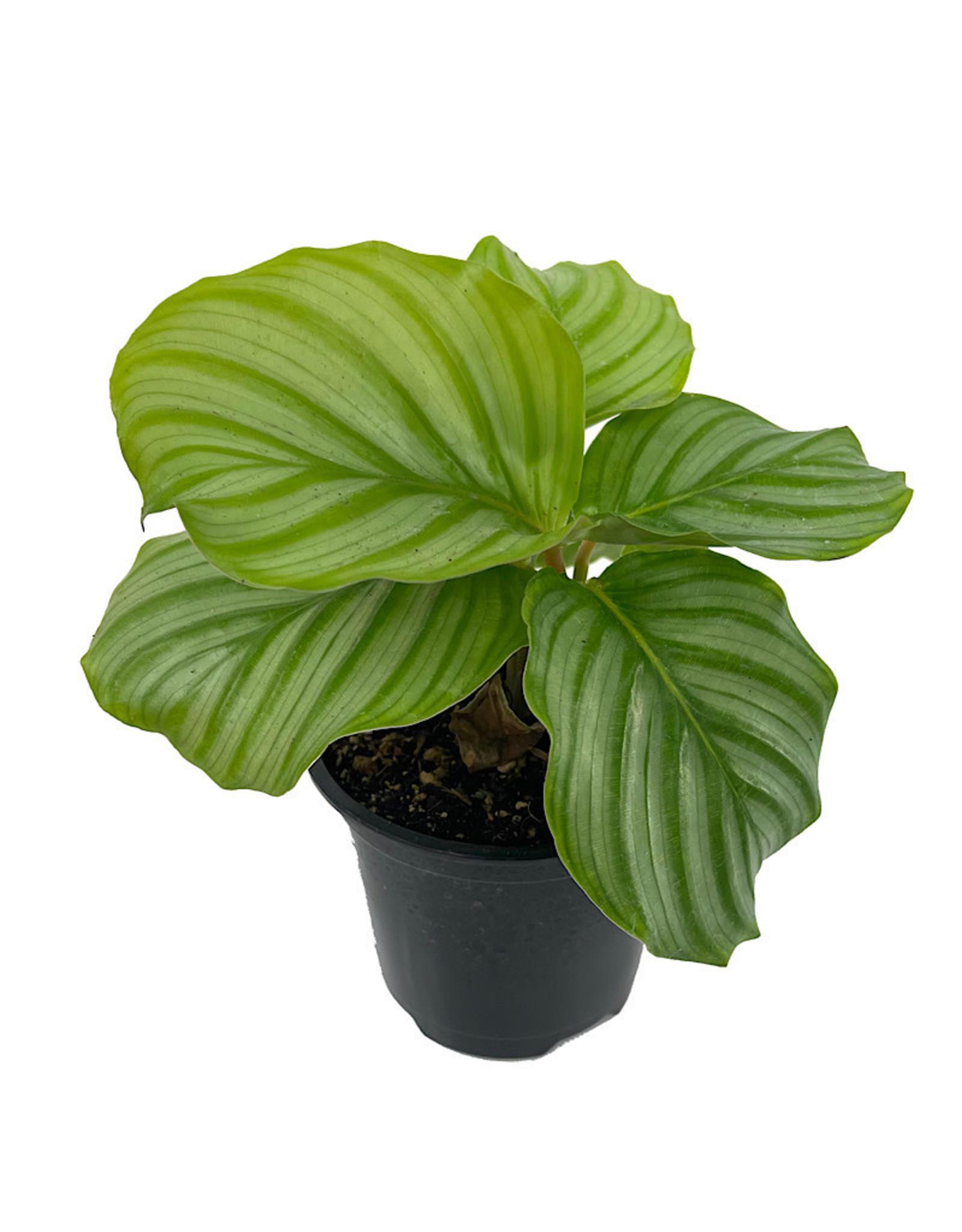 Calathea orbifolia Quart
