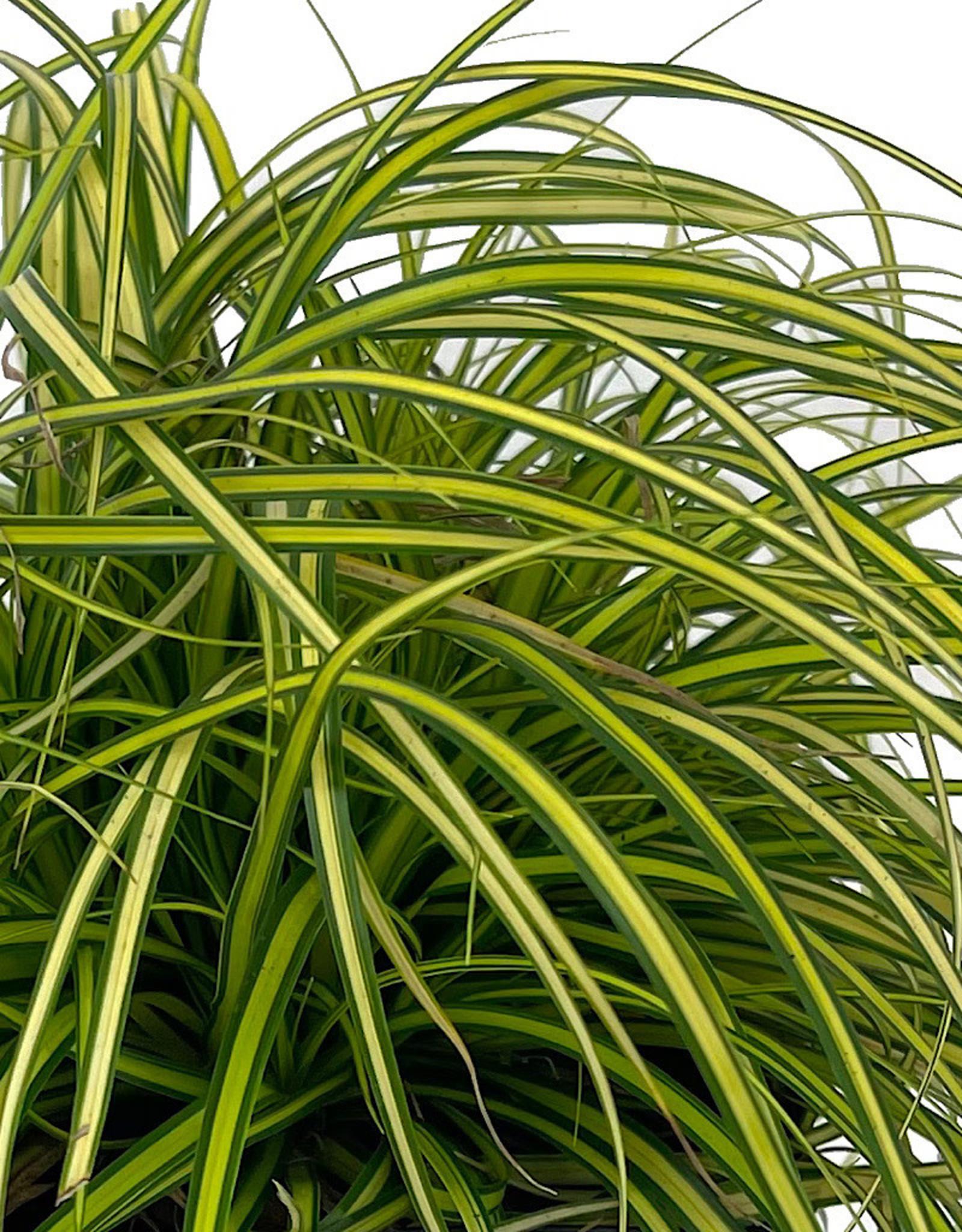 Carex oshimensis 'EverColor Eversheen' 1 Gallon
