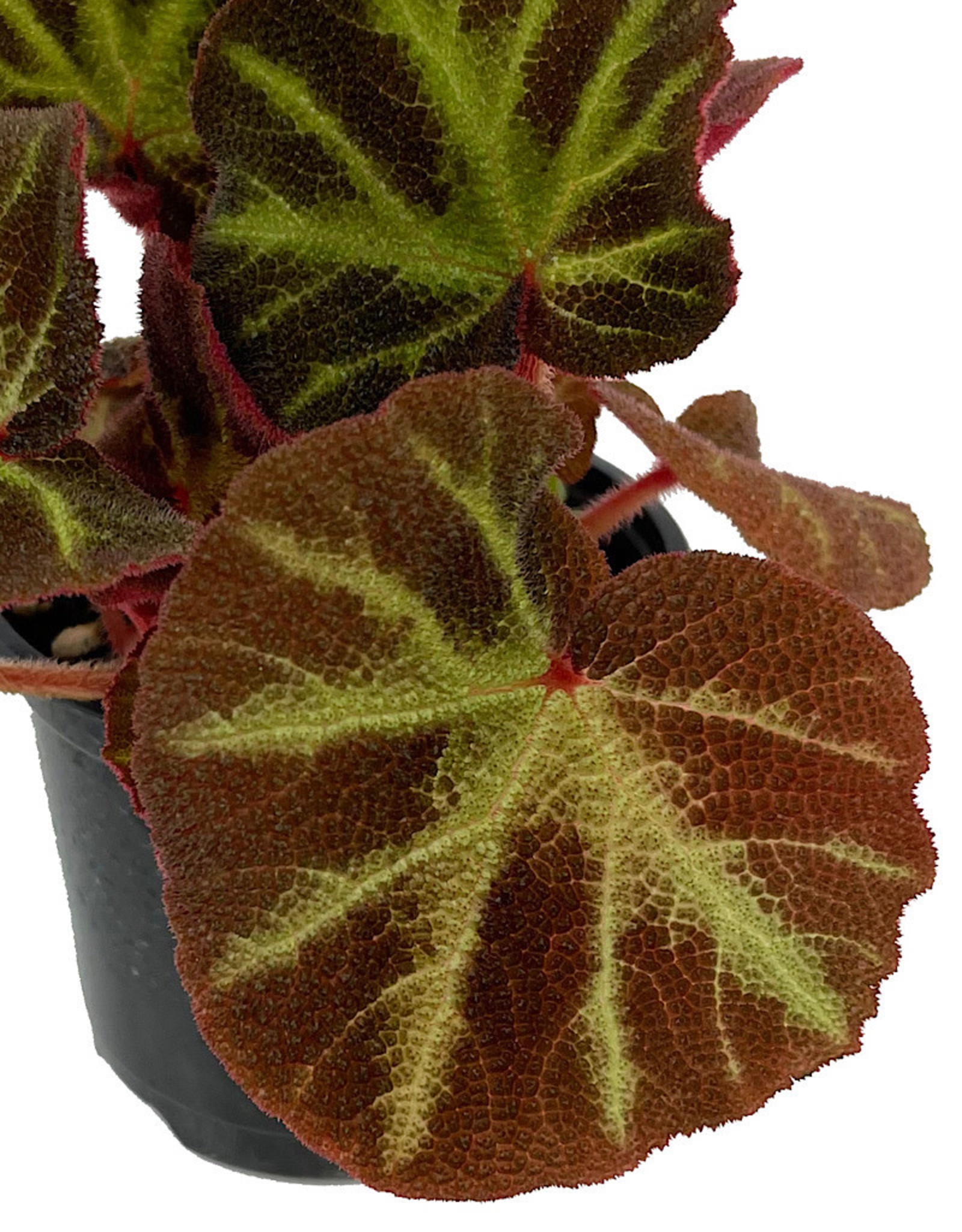 Begonia 'Soli-Mutata' Quart