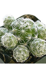 Mammillaria gracilis fragilis 'Thimble Cactus' 2 inch