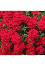 Verbena 'Lanai Red'- 4 inch