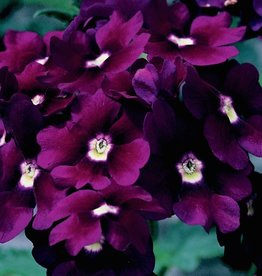 Verbena 'Lanai Deep Purple'- 4 inch