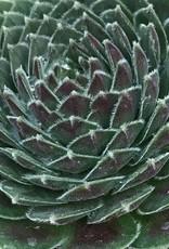 Sempervivum 'Dea'- 4 inch
