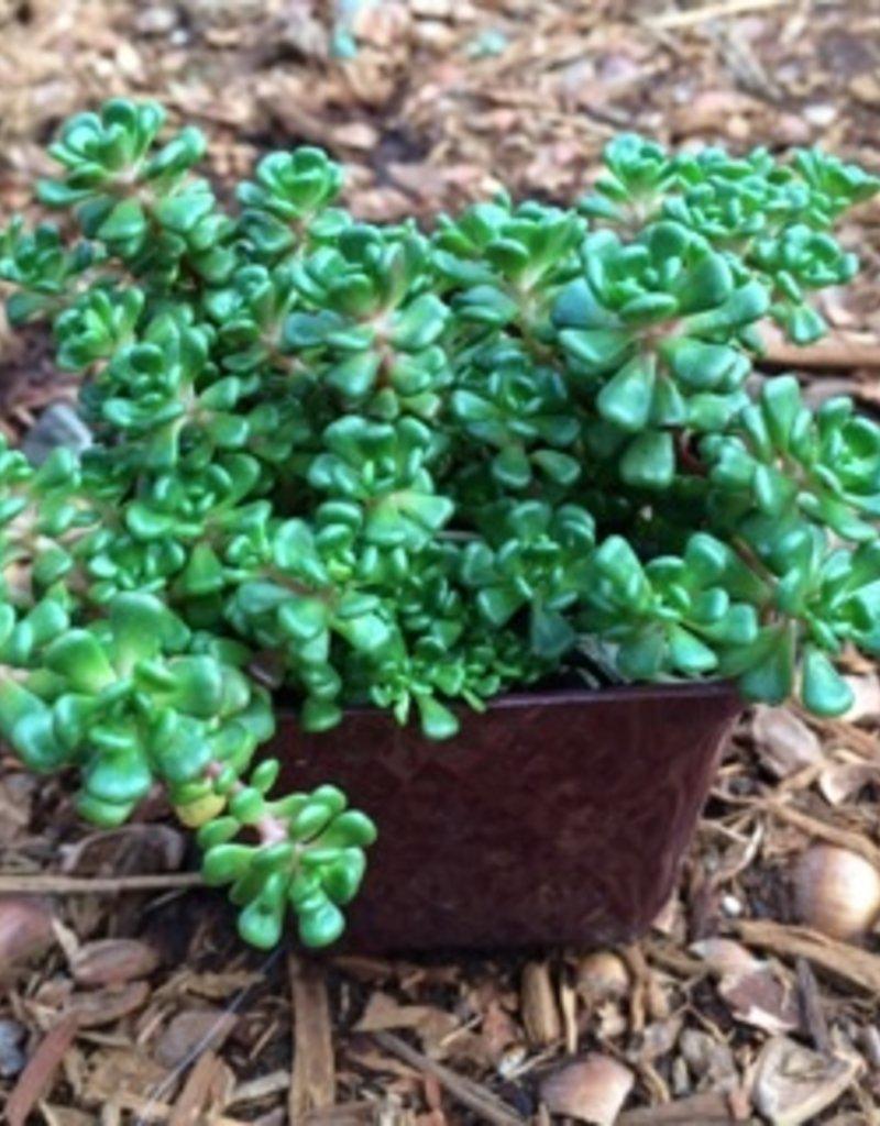 Sedum oreganum- 4 inch