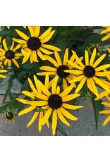 Rudbeckia 'Little Goldstar' - 1 Gal