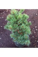 Pinus parviflora 'Catherine Elizabeth' - 1 Gal