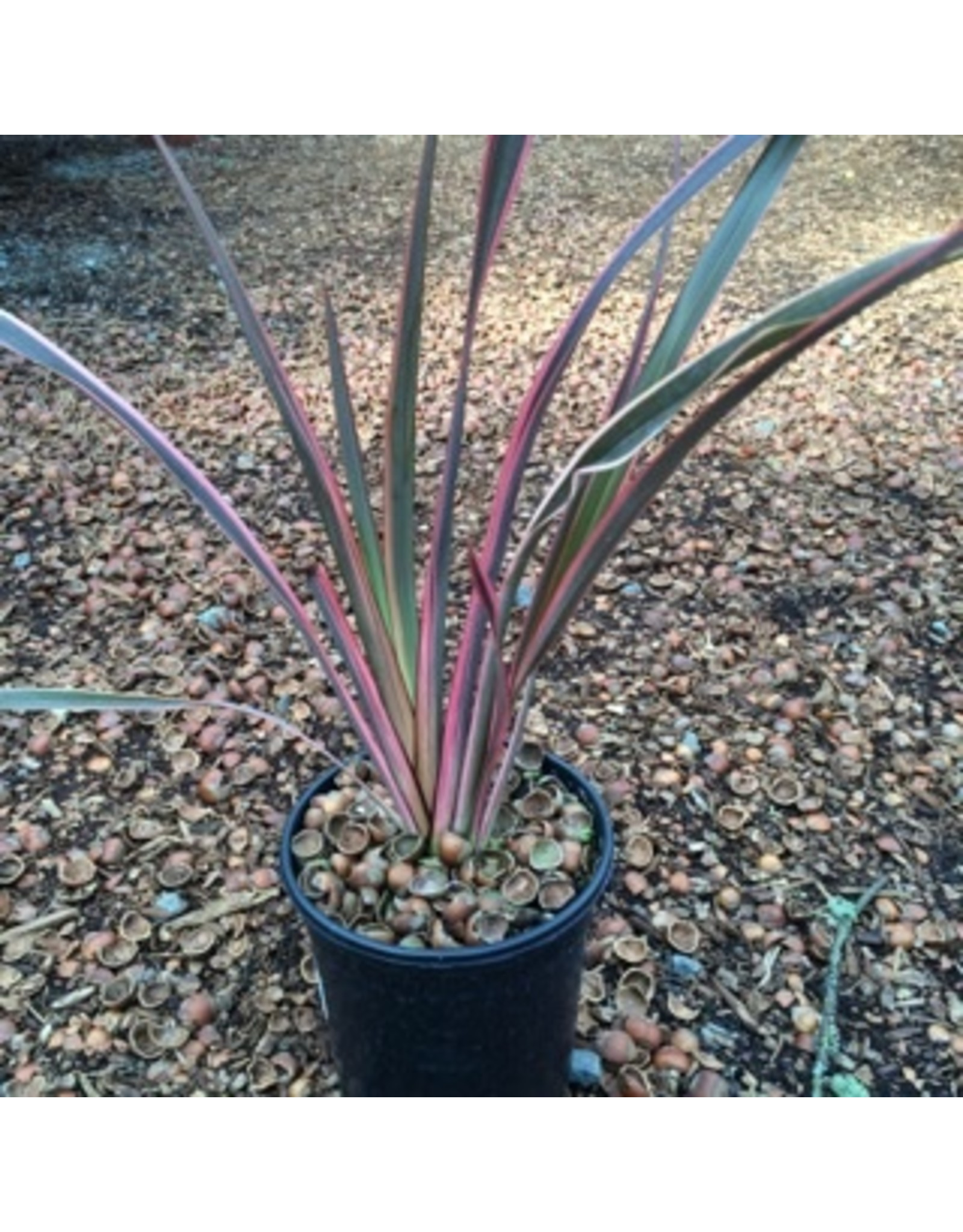 Phormium 'Rainbow Queen' 1 Gallon