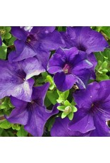 Petunia 'Surfinia Purple Majestic' 4 Inch
