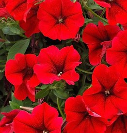 Petunia 'Surfinia Trailing Red'- 4 inch