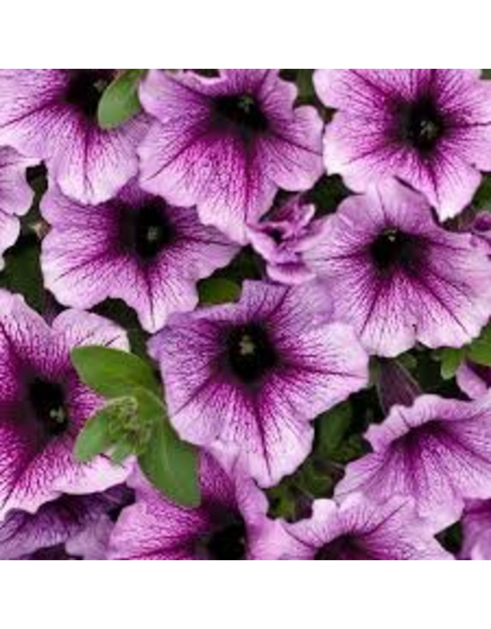 Petunia 'Supertunia Bordeaux'- 4 inch