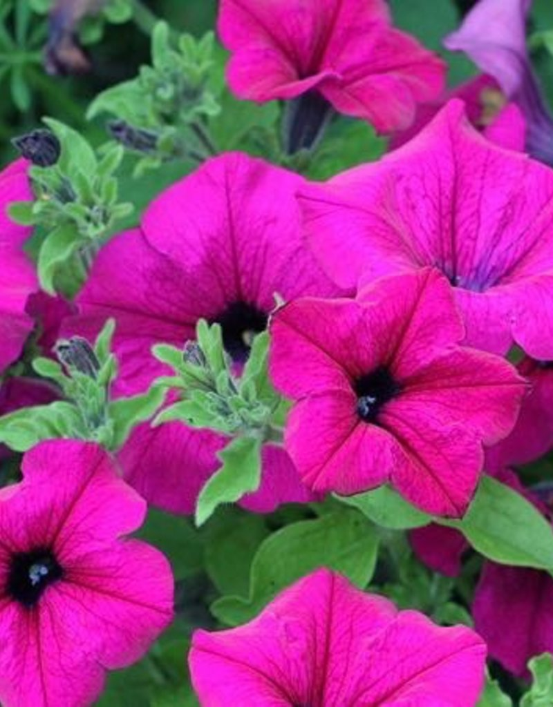 Petunia 'Surfinia Giant Purple'- 4 inch