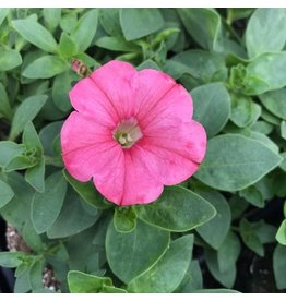 Petunia 'Supertunia Bermuda Beach'- 4 inch