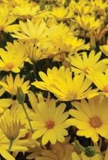 Osteospermum 'Voltage Yellow' - 4 inch