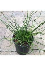 Juncus Effusus 'Twister'- 1 gal