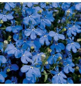 Lobelia 'Lucia Dark Blue'- 4 inch