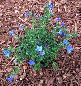 Lithodora diffusa 'Grace Ward' - 4 inch