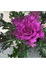 Kale 'Glamour Red' 4 inch