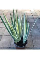 Iris pallida 'Variegata' 1 Gallon