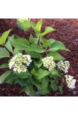 Hydrangea macrophylla 'Monmar' 2 Gallon