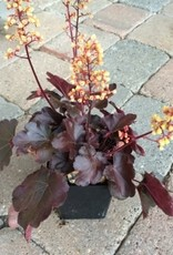 Heuchera 'Cutie Blondie' - Quart