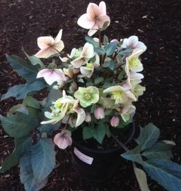 Helleborus 'Shooting Star'- 1 gal