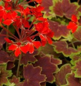 Geranium Fancy Leaf 'Vancouver Centennial' - 4 inch