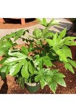 Fatsia japonica - 5 gal