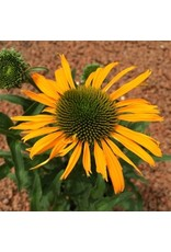Echinacea 'Now Cheesier'- 1 gal