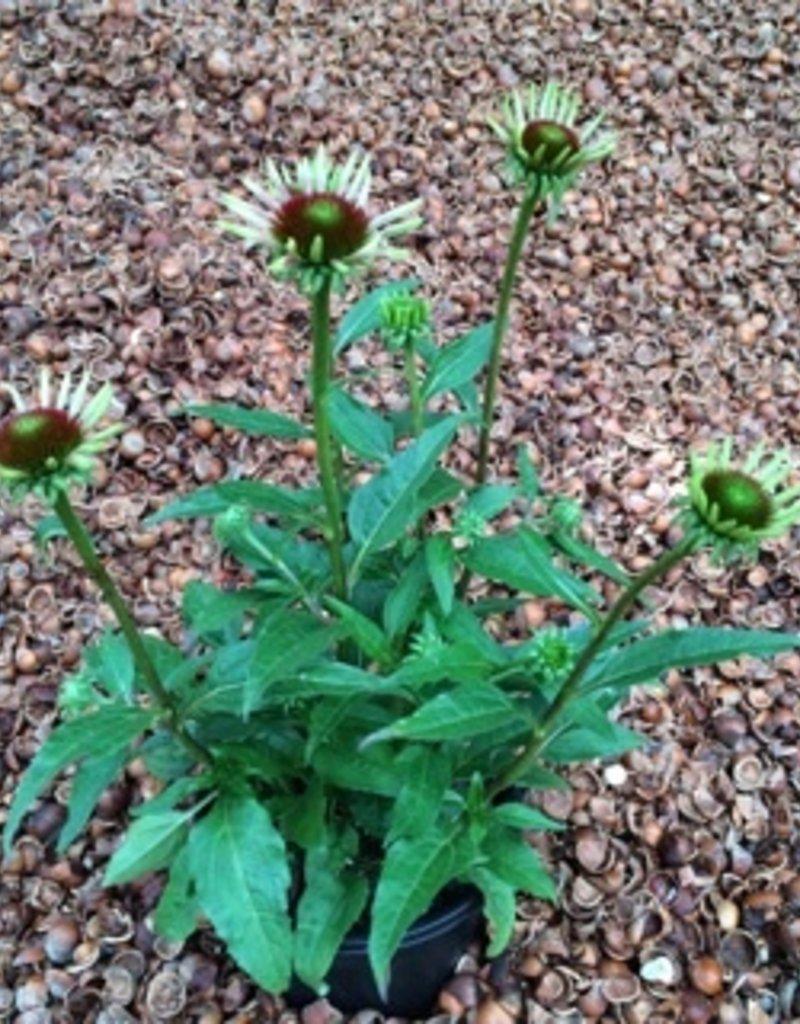 Echinacea 'Cheyenne Spirit' - 1 gal