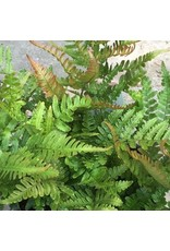 Dryopteris erythrosora 'Autumn Fern' 4 Inch